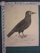 c1735 PRINT THE ROOK ~ ANTIQUE BIRD PRINT ELEAZER ALBIN ~