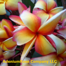Plumeria plant Puu kahea established plant not a cutting. SIZE LARGE