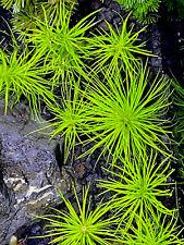 3 Stems Of Pogostemon Erectus planted tank aquarium live plant aquascaping
