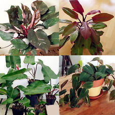 100Pcs Philodendron Erubescens Plants Seeds Different Kinds Clean Air At Home