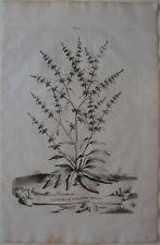 1696 LAPATHUM VULGARE MINUS original Abraham Munting botanica apazio romice
