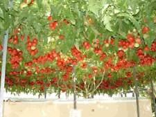 50 Semillas de Árbol del tomate (Solanum betaceum)