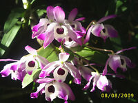 Rare orchid species seedling - Dendrobium Nobile