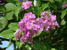 LAGERSTROEMIA FLORIBUNDA - 12 Semillas - Jardín Flores Árboles - Garden Samen