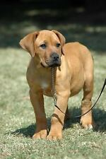 Boerboel South African Mastiff Puppy Dog Journal : 150 Page Lined...