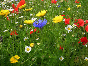 1 Sq metre of Cornfield Annual Wildflower seeds. UK Native seed with no grasses.