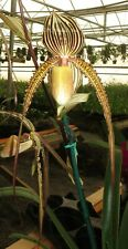Paph Pisgah Prayer - Long Tresses - Big Blooming Size Plant
