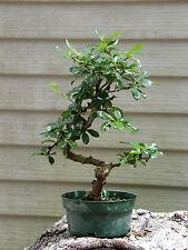New listing Bonsai Tree Fukien Tea Great Gift ! Live Tree