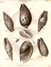 1803 DATATO stampa ~ CONCHIGLIE concologia ordine voluta PORFIRIA episcopalis pallida