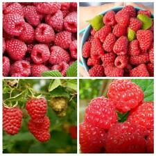 50pcs Giant Raspberry Seeds, Garden Fruit Plant, Juicy And Delicious HOT