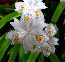 Plants- Iris evansia hybrid 'Tengchong Lace'