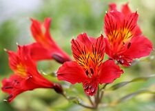 20 Red Alstroemeria Lily Seeds Flower Seed Peruvian Perennial Seed 71 Us Seller