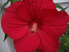 10 LUNA RED HARDY HIBISCUS Moscheutos Flower Small Bush Seeds + Gift & Comb S/H