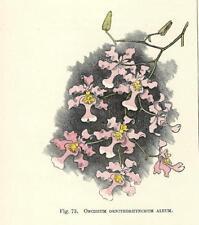 Stampa antica FIORI ORCHIDEA ONCIDIUM ORNITHORHYNCHU botanica 1896 Antique print