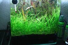 Echinodorus Tenellus Clump Pigmy Chain Sword Live Aquarium Plants Buy2Get1Free*