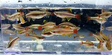 New listing Whitecloud Minnow F4(10fish)
