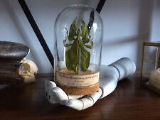 Cabinet de curiosités Oddities Globe insecte Phyllium pulchrifolium bioculatum