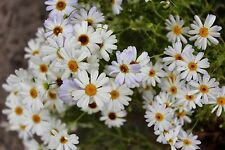 White Swan River Daisy Seeds - Perennial Lovely in Rockeries, Pots & Windowboxes