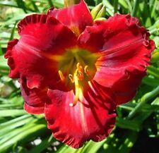 ARAMIS ❀ Daylily Plant Fans Live Plants Perennial RARE Flower