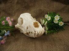 Real Wolves Skull Bones Decorative Unique Birthday Gifts Man Cave West V & TG01