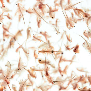 Live Brine Shrimp - 10 bags for £21.95 including postage and packing