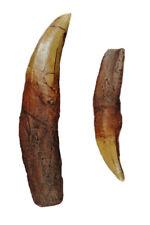 "Tyrannosaurus Rex - T-Rex - Tooth w/ Root Replica - 7.25"""