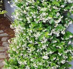 Trachelospermum Jasmin Garten Kübel Balkon frosthart 123987477