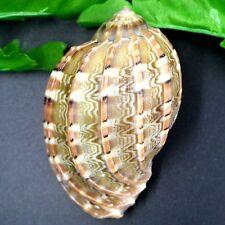Natural Beautiful top rare real sea Shell Conch aquarium YBK038