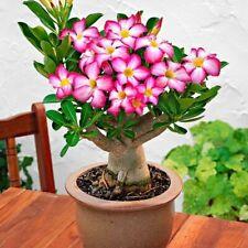 Pink Desert Rose - Live Plant Adenium Obesum Bonsai Tropical
