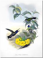 "Vintage Hummingbird Art John Gould CANVAS PRINT~ Blue-throated Cazique 8""X 10"""