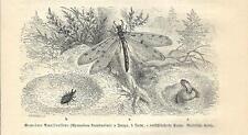 Stampa antica INSETTI Myrmeleon formicarius INSECTA 1891 Old antique print