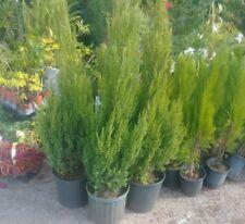 Blue Point Juniper Evergreen - 3 - Gallon - Live - Tree - Shrub