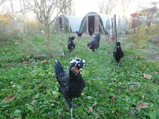 3 Pure Sanjak Longcrower (Death Metal Chicken) Hatching Eggs