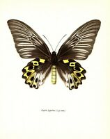 Antique Butterfly Print Rippons Birdwing Butterfly Art Illustration Print 3310