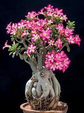 5 graines d'ADENIUM OBESUM BOTANIQUE!! cactus, caudex, suculente+++