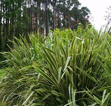 Phormium Tenax Seeds New Zealand Green flax 10 seeds Ornamental Grass CombSH I54