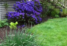 Rhododendron Blue Barron - #5 Container Size Plant- Stunning Deep Blue Blooms