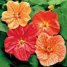 Abutilon Hybridum Bellvue Mix- 50 Seeds -
