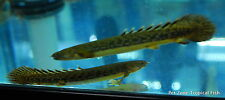 Teugelsi Bichir -  Polypterus Teugelsi - Rare Oddball Monster Tropical Fish