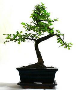 Chinese Elm Bonsai Tree S trunk - supplied with ceramic drip tray .