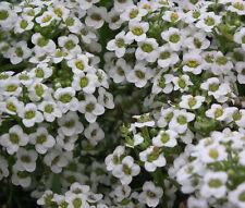 Alyssum Carpet Of Snow Lobularia Maritima - 1,000 Seeds