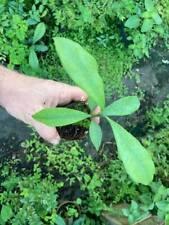 Garcinia brasiliensis superior Lemon Drop mangosteen Bacupari RARE trees
