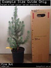 Pine Nut (Pinus pinea) Fruit Tree Plant
