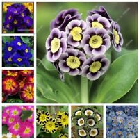 USA-50 pcs/bag Multicolor Primula Seeds,  Colorful Flowers Seeds