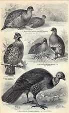 Antique bird print Galliformes huhn Hoendervogel 1905