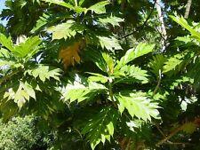 10 Dried Jamaican Breadfruit Leaves  (Artocarpus Altilis)-Natural & Homeopathic