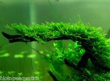 CHRISTMAS MOSS 5g 4 x 3cm rare aquarium fish carpet plant mesh bogwood java nano
