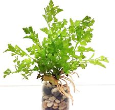 "Fern Plant Bush~Roots~Green~11"" Tall. PVC/Artificial"