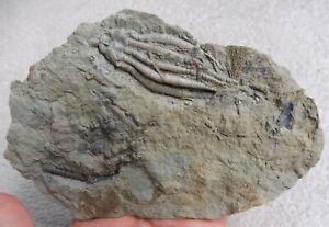 Crinoid (Scytalocrinus & Agaricocrinus) - Edwardsville Fm USA - Carboniferous