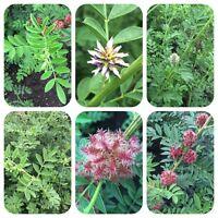 Echtes Süßholz Glycyrrhiza glabra Lakritze Süssholz alte Heilpflanze Teepflanze